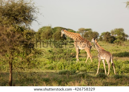 Incredible wildlife landscape with giraffe in the african savanna