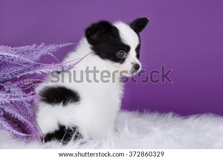 Incredibly cute puppy Papillon (Continental Toy Spaniel) is sitting and posing on a white fur and a purple background.