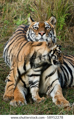 India. Bandhavgarh National Park. Tigress with a kitten on a grass./ Tigress with a kitten on a grass. - stock photo