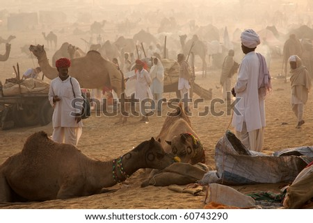 INDIA-NOVEMBER 11:  In the morning, Camel owners are feeding their camels at pushkar fair, November 11, 2008 in Pushkar India. Pushkar fair is a big camel and cattle trading.