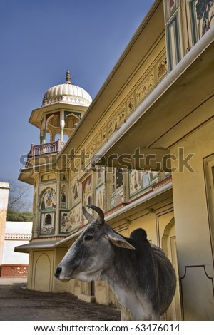 India, Rajasthan, Jaipur, a sacred cow in front of the Sisodia Rani Ka Bagh Palace, built in 1710 A.D. by Maharaja Sawai Jai Singh - stock photo
