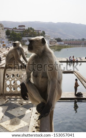 India, Rajasthan, Pushkar, indian monkeys look at the pilgrims take a bath in the sacred lake - stock photo