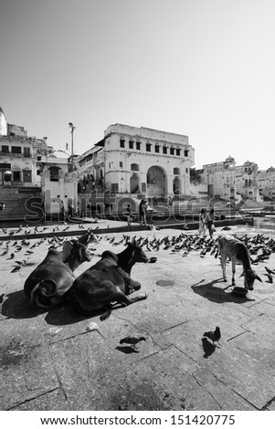 India, Rajasthan, Pushkar, view of the town and the sacred lake, crowded by pigeons and sacred cows - stock photo