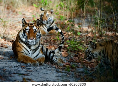 India Three Bengal Tigers on a wood glade - stock photo