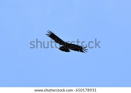 Indian Black Eagle In The Sky