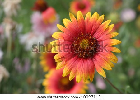 Indian Blanket also called Firewheel after a Spring shower - stock photo
