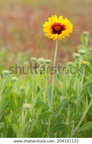 Indian Blanket, Sundance, or Firewheel Flower. Indian Blanket flower in a meadow. This flower is also known as Fire Wheel flower, and Sundance flower. It is the State Wildflower of Oklahoma.  - stock photo