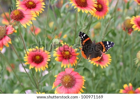 Indian Blankets and a Butterfly in the Spring - stock photo