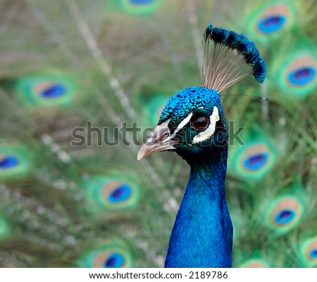 Indian Blue Peacock - Pavo Cristatus - stock photo