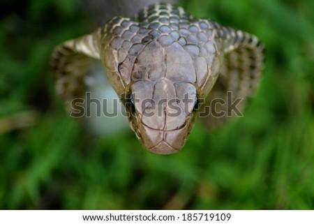 Indian cobra - stock photo