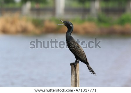 Indian cormorant perches on pole