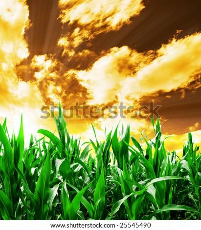 Indian corn field under yellow stormy sky - stock photo
