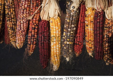 Indian corn hanging, close-up - stock photo