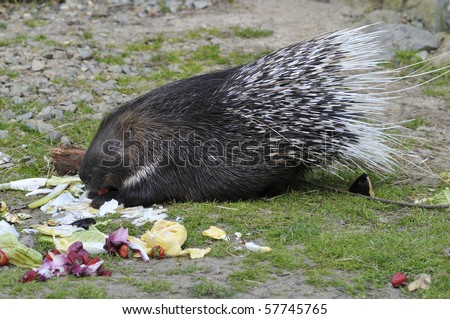 Indian Crested Porcupine (Hystrix indica) eating vegetables - stock photo