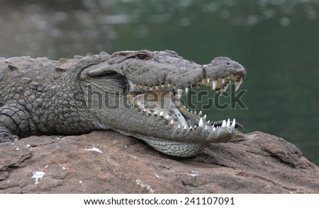 Indian Crocodile - stock photo
