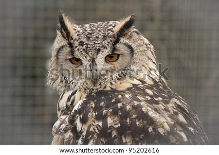 Indian eagle owl (Bubo bengalensis) - stock photo
