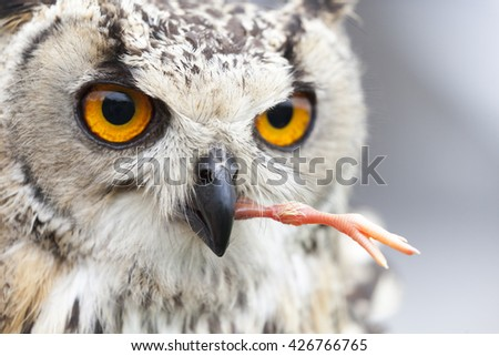 Indian eagle-owl eating chick - stock photo
