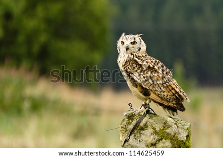 Indian Eagle Owl on rock / Indian Eagle Owl (bubo bengalensis) perched upon a rock - stock photo