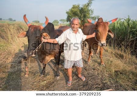 Indian educated farmer holding his oxen in rural village Salunkwadi, Ambajogai, Beed, Maharashtra, India, South East Asia. - stock photo