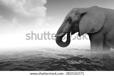 Indian elephant bathing in sea water - black and white photo - stock photo