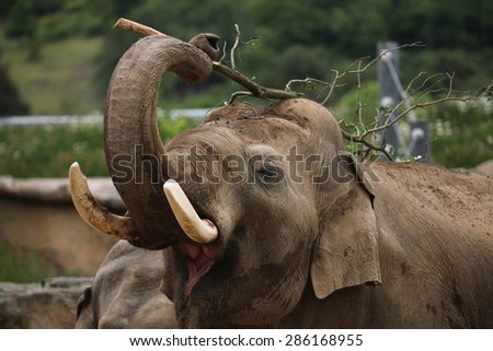 Indian elephant (Elephas maximus indicus) uses trunk to scratch its back with branch. Wildlife animal.  - stock photo