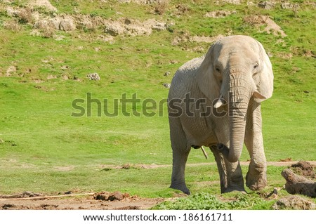 indian elephant in sparse grassland with text space - stock photo