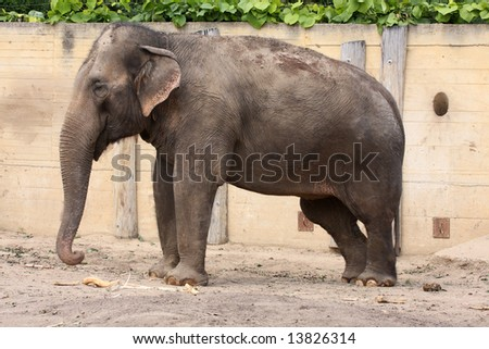 Indian elephant in ZOO Prague - Czech Republic Europe - stock photo