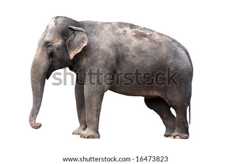 Indian elephant - isolated - stock photo
