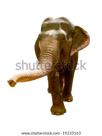 indian elephant isolated on white background - stock photo