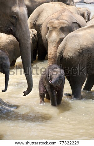 Indian elephants with a baby in a river, Pinnawela elephant orphanage, Sri Lanka - stock photo