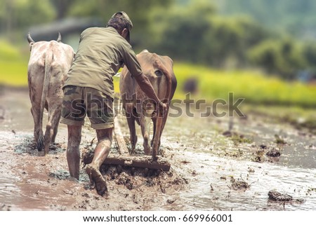 Indian farmer plowing rice fields using traditional plough