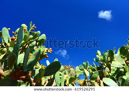 Indian fig opuntia (Cactus - cacti), calm maltese scenery with deep blue sky and small cloud. Common culinary species, island of Gozo.