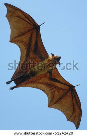 Indian Flying Fox flying over Tissamaharama, Sri Lanka - stock photo