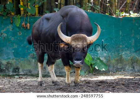 Indian gaur - stock photo