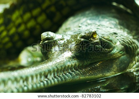 Indian gavial (Gharial - Gavialis gangeticus) - stock photo