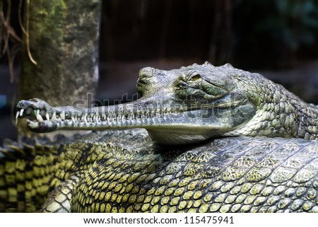 Indian gavial very close up