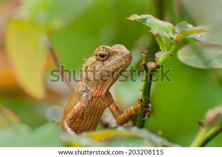Indian gecko on a tree trunk , Bishnupur, India - stock photo