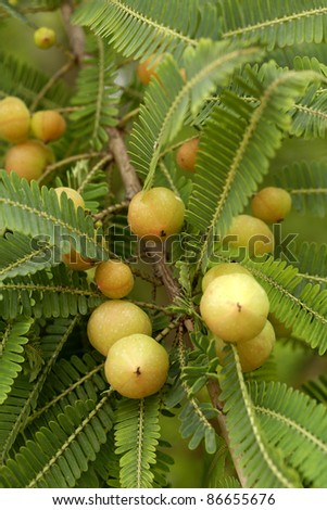 Indian gooseberries - stock photo