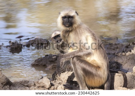 Indian Gray langurs or Hanuman langurs Monkey (Semnopithecus entellus)  mother and baby,staring at the camera by a water hole - stock photo