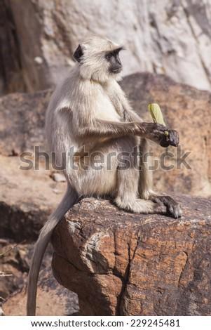 Indian Gray langurs or Hanuman langurs Monkey (Semnopithecus entellus) sat on a rock - stock photo