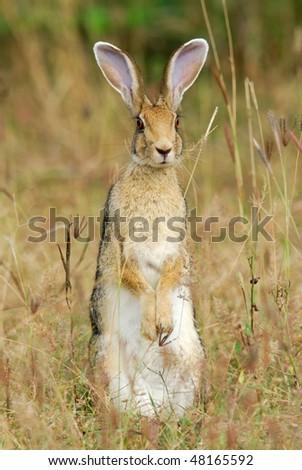 Indian Hare sitting up in Yala West National Park, Sri Lanka - stock photo