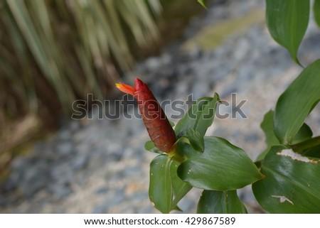 Indian Head Ginger flowers,Costus Speciosus - stock photo