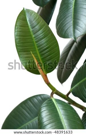 Indian houseplant Ficus elastica (rubber bush) over white - stock photo