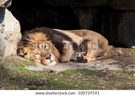 Indian lion, Panthera leo persica, resting in the sun - stock photo