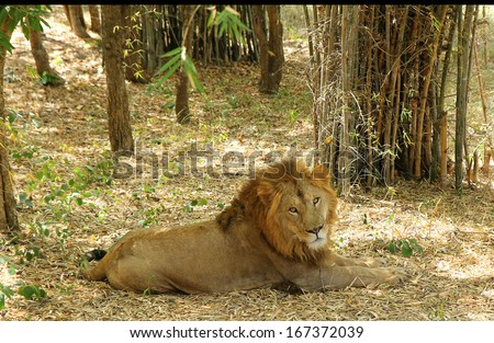 Indian lion resting under the shade of tress in the forest in its natural setting of bamboo and giving a deep stare at tourists  - stock photo