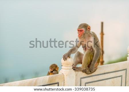 Indian Macaque monkeys at the Taj Mahal complex, Agra, India - stock photo