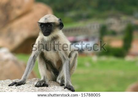 Indian monkey - stock photo