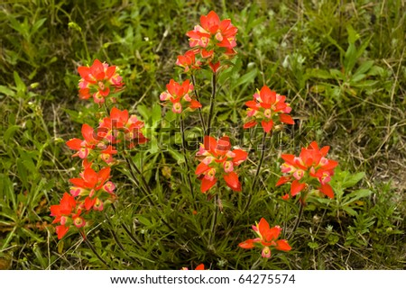 Indian paint brush tend to grown individually but ocassionally in clumps. - stock photo