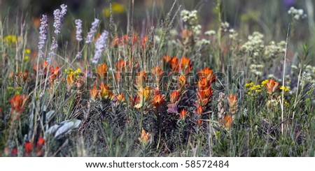 Indian Paintbrush and other New Mexico summer wildflowers - stock photo