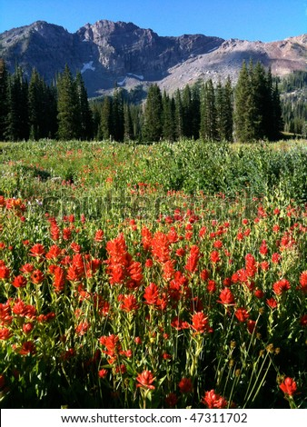 Indian Paintbrush (Castilleja rhexifolia) wildflowers - Albion Basin (near Alta and Snowbird ski resorts), Wasatch Mountains, Utah - stock photo